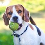 El peligro de las pelotas de tenis para los perros